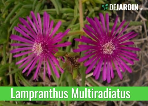 Rayito de Sol o Lampranthus Multiradiatus