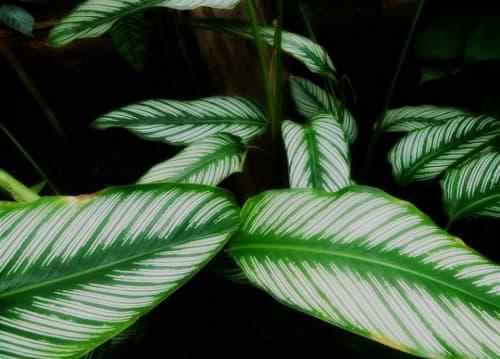 planta calathea ornata