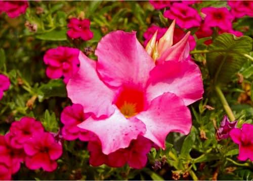 planta Dipladenia flor rosa