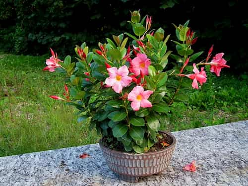 maceta con flor  de la Mandevilla Splendens